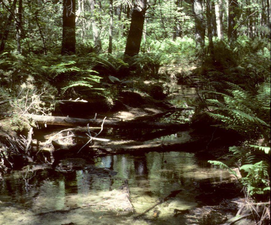 white pine red maple swamp_EricEpstein