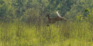 Picture of a deer. Photo by Richter.