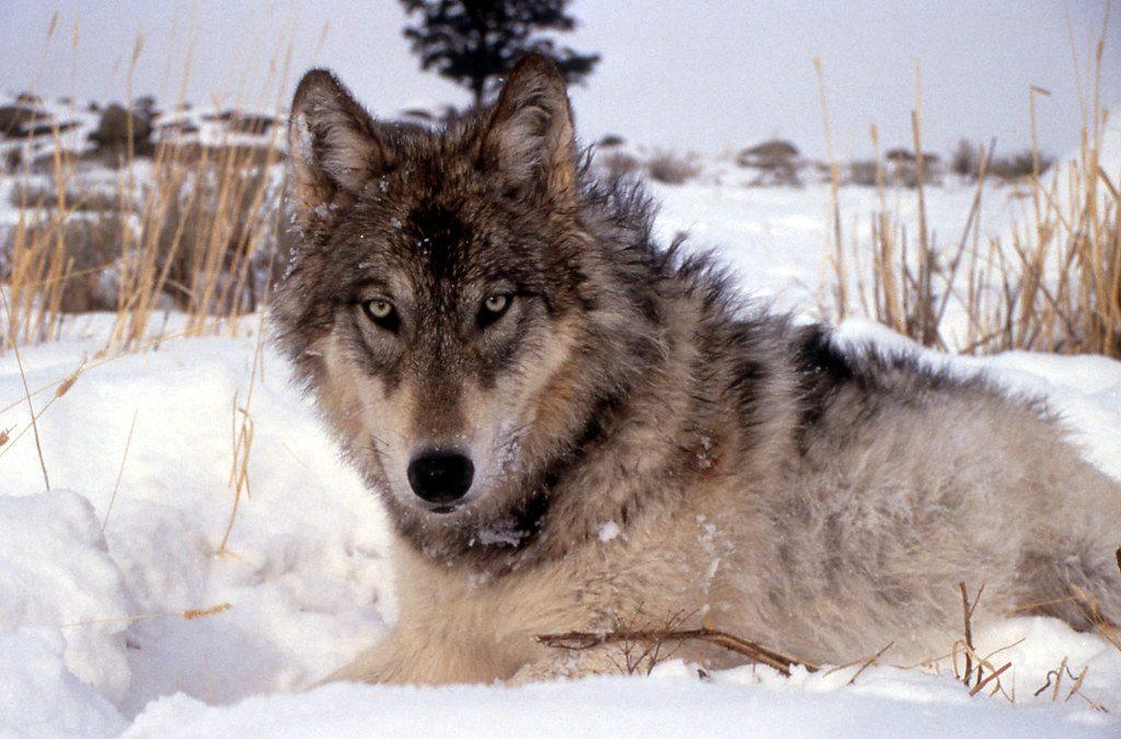 wolf_NPS