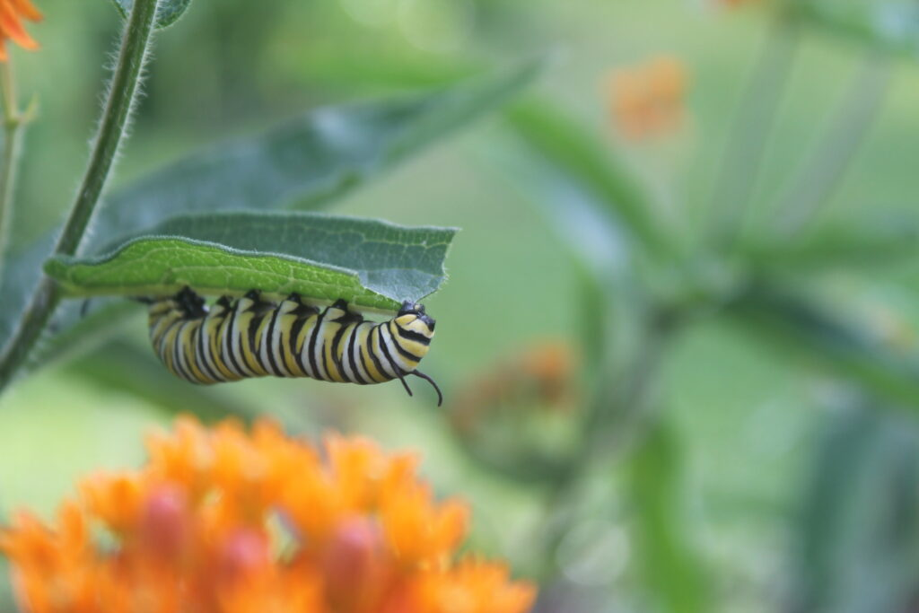 Monarch caterpillar on butterfly weed Asclepias tuberosa