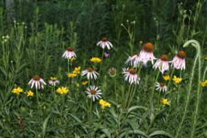 Pale purple coneflower and native coreopsis